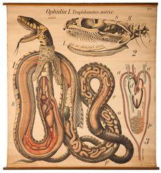 tropidonotus natrix.