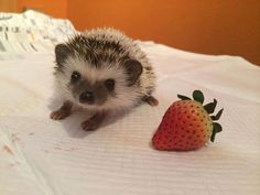 squeee little baby hedgehog!!! about 4-6 weeks here when they still look so little and babyish
