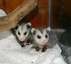 A pair of curious, baby opossums by Camille Christie.