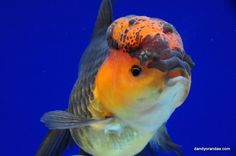 Red/Black Oranda 6.5 inches » DandyOrandas.com