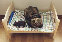 IKEA Doll Beds Are Being Repurposed By These Genius Cat-Lovers. - http://www.lifebuzz.com/ikea-beds/