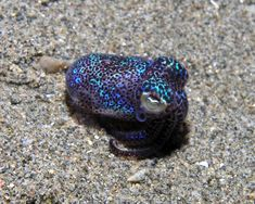 "Nature's Cutest Symbiosis: The Bobtail Squid — To avoid becoming a snack, the bobtail squid has formed a powerful alliance with a luminous bacteria called Vibrio fischeri. The bacteria reside inside a ""light organ"" on the underside of the squid, and at nighttime, these tiny tenants will glow to match the pattern of moonlight coming from above. This helps mask the silhouette of the squid, rendering them ""invisible"" to predators from below."