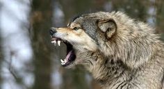 Image result for growling wolf