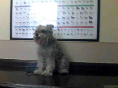 HARLEY-ID#A673740    My name is HARLEY.    I am a neutered male, gray Schnauzer - Miniature.    The shelter staff think I am about 9 years old.    I have been at the shelter since Sep 22, 2012.