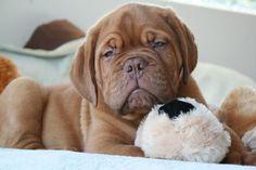 Dogue de bordeaux......so want one