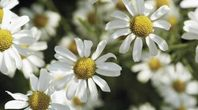 How to Grow Chamomile Indoors | eHow