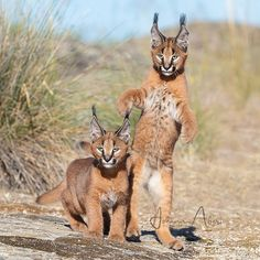 Looks like your pet cat, doesn't it? Photo b Animals And Pets, Baby Animals, Cute Animals, Beautiful Cats, Animals Beautiful, Big Cats, Cats And Kittens, Siamese Cats, Caracal Cat