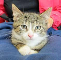 Tabitha is an adoptable Domestic Short Hair Cat in Grayslake, IL. Tabitha (about 8 weeks old as of 6/29) is brown tabby and white short-hair female. She had a home all lined up but unfortunately it fe...