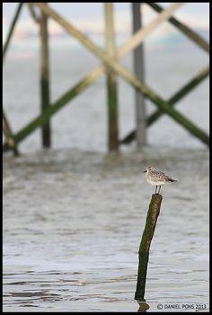 PHOTOGRAPHIES: Pluvier argenté I Pluvialis squatarolaSaint Brevin...