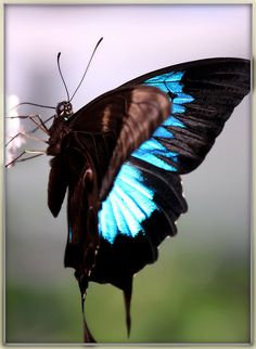 ~Black Swallowtail butterfly~