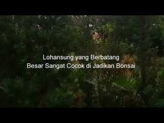Sukses Bisnis bonsai lohansung di kavling Kosong - YouTube