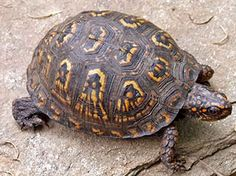 """Make the box turtles in your garden habitat happy. I love the """"Box Turtle Crossing"""" signs.every year it makes me sad to see these poor fellows trying to cross busy roads, and it's not always possible to stop and take them out of harms way. Tortoise Habitat, Turtle Habitat, Reptile Habitat, Tortoise Care, Sea Turtle Wallpaper, Box Turtles, Freshwater Turtles, Eastern Box Turtle, Turtle Care"""