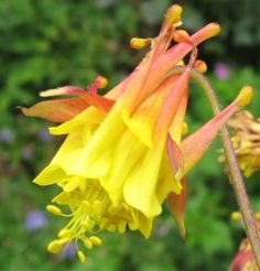Red and yellow double Aquilegia vulgaris. Image by Carrie Thomas.