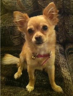 Chihuahua mix, Chihuahuas and Pomeranians on Pinterest