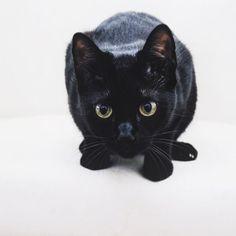 3...2... 1 •  #Maya #thisismaya #cat #gato #chat #kitty #kitten #kittensofinstagram #catsofinstagram #catstagram #animaladdicts #animals #bombay #catsofinsstagram #catigram #vsco #Cat #igers #animals #Thebestmeow #Meow #miau #bestmeow #cats #cutecatskittens #catloversclub #vsco #vscocam @cutecatskittens @cutepetclub @cats_of_instagram @bestmeow