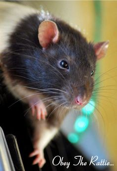 Obey the rattie