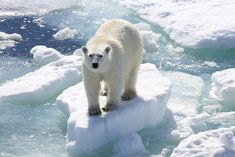 Polar bear cub: beautiful ... and vulnerable. The actions that we take thousands of miles from the polar bear's sea ice home have a direct impact on their survival. By DKTV100, via our Flickr group.