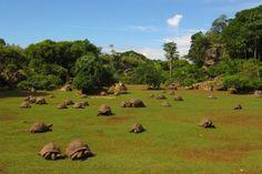 Les tortues de l'Île Rodrigues. Nous louons des appartements de vacances à l'Île Rodrigues. Visitez costabec.com