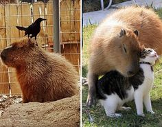 18 Pictures That Prove Capybaras Are The Chillest Animals On Earth