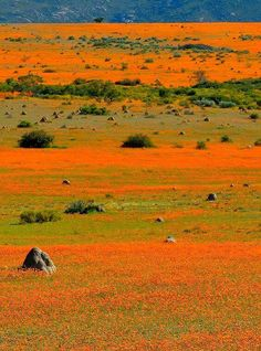 We all walked out of Africa. Wildflowers South Africa, Namaqualand by Vittorio Ricci Places Around The World, Around The Worlds, Beautiful World, Beautiful Places, Out Of Africa, Parcs, Africa Travel, Beautiful Landscapes, Wonders Of The World