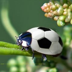 """Sweet Ladybug: Ladybugs are a """"cute bug"""" staple, but they actually belong to the Coccinellidae family of beetles. Description from pinterest.com. I searched for this on bing.com/images"""