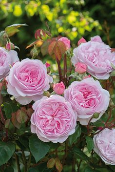 Rosa Olivia Rose Austin ('Ausmixture') (PBR) -  New for 2014, this beautiful David Austin rose. A wonderful addition to the rose garden. All our roses are grown in an open field and then dug up when the w