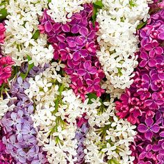Fragrant French Lilac - blessed with strongly scented flowers from late spring into early summer, French lilacs are desirable deciduous shrubs that really make their presence felt. Their tiny packed clusters of purple buds open to reveal a mass of brightly coloured tubular flowers that smell great and act as a magnet to wildlife! http://www.yougarden.com/item-p-510028/fragrant-french-lilac-collection #spring #gardening #lilac #fragrant #flowers