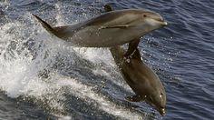 ¿Por qué mueren delfines cerca de Fukushima? El agua contaminada amenaza la fauna del Pacífico