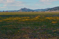 Wildflowers in the Bear Valley of Colusa County, CA.