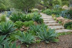 Foxtail agave's pointed leaves and dinner-plate aeonium's rounded rosettes provide visual diversity in the succulent garden. Photo: John Evarts / Cachuma Press