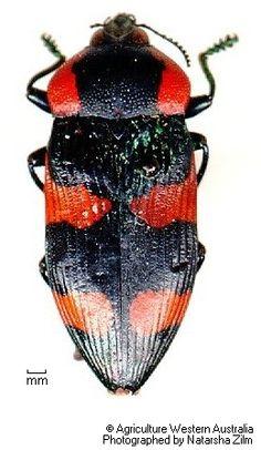 Castiarina cyanipes Boisduval