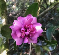 The first camelia of the new season!!!  25 August