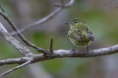 Foto maria-da-restinga (Phylloscartes kronei) por Fernando Farias | Wiki Aves - A Enciclopédia das Aves do Brasil