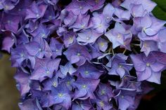 Let's Dance Rhythmic Blue bigleaf hydrangea is one of the strongest rebloomers available - and it's easy to turn from pink to rich blue! Hydrangea Macrophylla, Hydrangea Shrub, Hydrangea Garden, Blue Hydrangea, Hydrangeas, Winter Flowers, Fresh Flowers, Pink Flowers, Hydrangea
