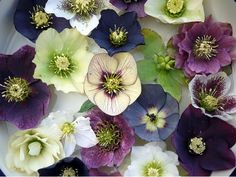 Hellebores - more of these need to be added to the garden.