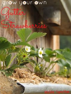 Grow Your Own Gutter Strawberries ~ GreenThumb Thursday