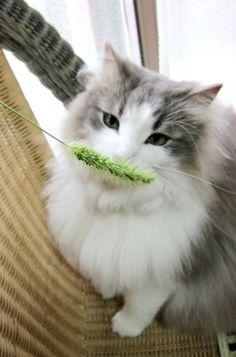 Esse gato existe?? *o* #belo