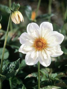 11 Dramatic Dahlias : Outdoors : Home & Garden Television