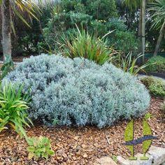 Helichrysum amorginum 39 ruby cluster 39 rou p pini res for Plante curry