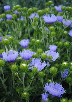 {Tone on Tone: Update On Our Blue Garden}  Close up of Stokesia, which will bloom from July - Aug.