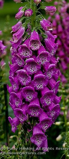 Love these purpurea foxglove - this is the foxglove I remember my mom having in her flower beds