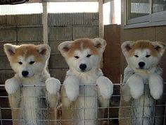 Akita Ken(Inu) - Akita Puppies
