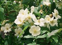 "Musk Rose (Rosa moschata) in Shakespeare ""With sweet musk-roses and with eglantine: There sleeps Titania sometime of the night, Lull'd in these flowers with dances and delight."" - A Midsummer Night's Dream"