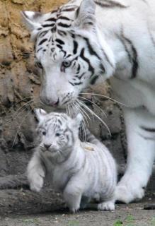 White tiger mum and baby.