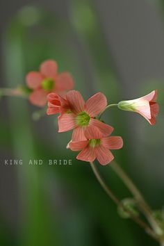 3 sisters & 1 brother - oxalis