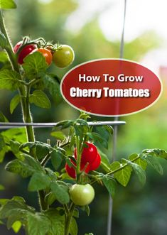 Growing Tomatoes From Seed How To Grow Cherry Tomatoes - Learn how to grow cherry tomatoes in pots or in your garden. One of the easiest plants to grow, cherry tomatoes are delicious and great to have! Growing Tomatoes From Seed, Growing Tomatoes In Containers, Growing Vegetables, How To Grow Tomatoes, Gardening Vegetables, Backyard Vegetable Gardens, Tomato Garden, Grow Vanilla Beans, How To Grow Cherries