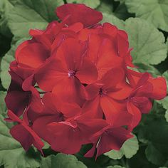 Geranium Ringo Cardinal Seeds 15 thru 250 Seeds You Pick geranium seeds