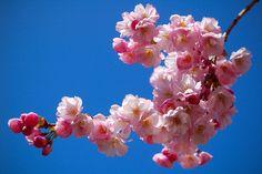 Sakura by md, via Flickr