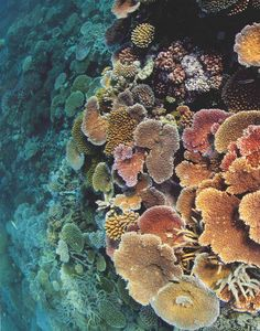 Hard Corals by David Doubilet for Nat'l Geo
