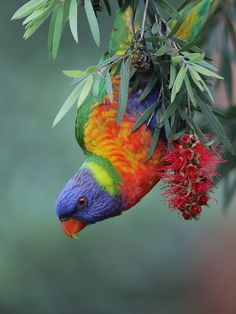 Rainbow Lorikeet by Michael Cleary on 500px